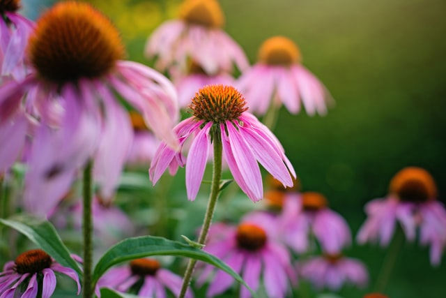 echinacea to fight cold and flu