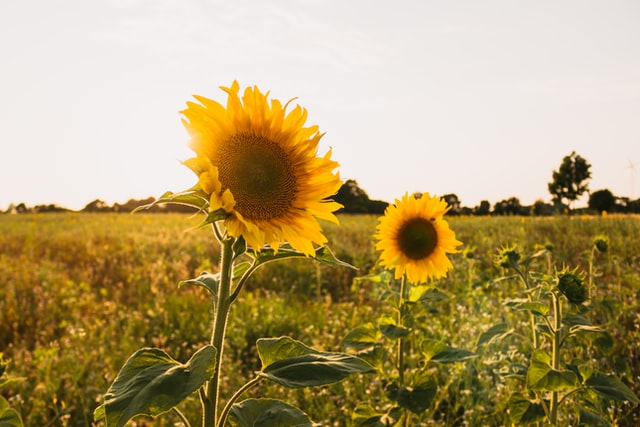 sunflower vitamin d3 supplements